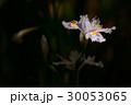 日陰に咲く胡蝶花 30053065