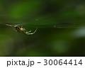 蜘蛛 30064414