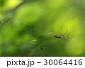 蜘蛛 クモ クモの巣の写真 30064416