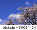 小田原城址公園の満開の桜 30064424