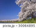 桜 ソメイヨシノ 白石川の写真 30064895