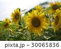 ひまわり畑アップ 30065836