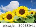 ひまわりと入道雲 30065941