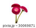 daisy flower isolated 30069871