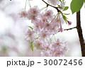 八重枝垂桜 30072456