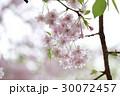 八重枝垂桜 30072457