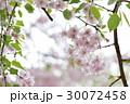 八重枝垂桜 30072458