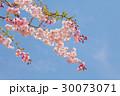 桜 葉桜 春の写真 30073071