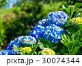 紫陽花 アジサイ アジサイの花の写真 30074344