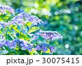 紫陽花 花 植物の写真 30075415