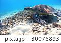 沖縄 渡嘉敷島の渡嘉志久ビーチ アオウミガメの水中写真 30076893