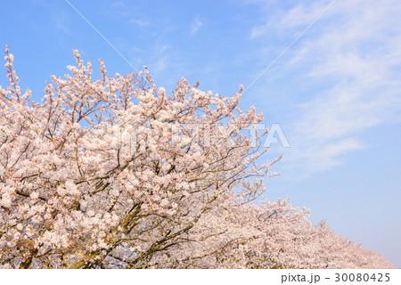 桜の花。 30080425