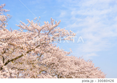 桜の花。 30080426