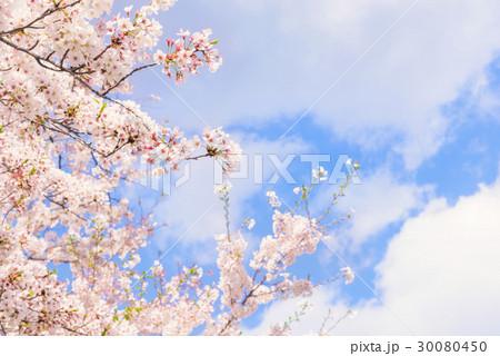 桜の花。日本の象徴的な花木。 30080450