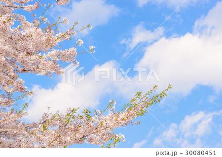 桜の花。日本の象徴的な花木。 30080451