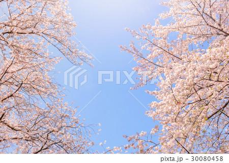 桜の花。日本の象徴的な花木。 30080458