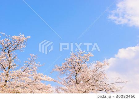 桜の花。日本の象徴的な花木。 30080460