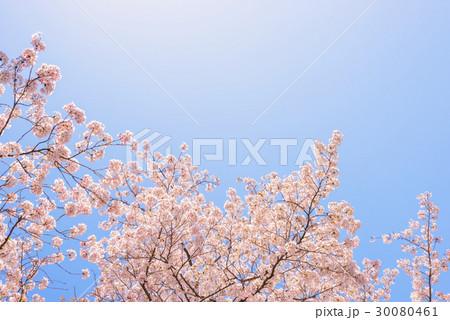 桜の花。日本の象徴的な花木。 30080461