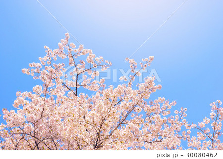 桜の花。日本の象徴的な花木。 30080462