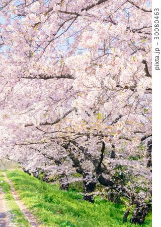 桜の花。川岸の土手。 30080463