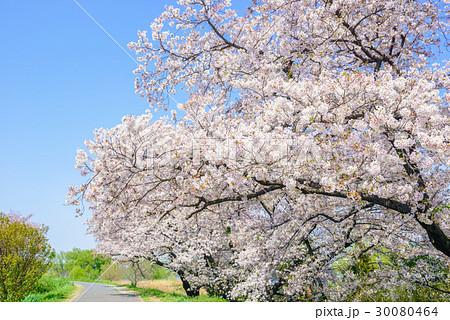桜の花。川岸の土手。 30080464
