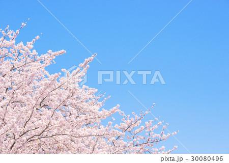桜の花。日本の象徴的な花木。 30080496