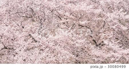 桜の花。日本の象徴的な花木。 30080499