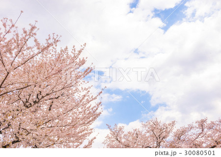 桜の花。日本の象徴的な花木。 30080501