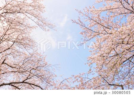 桜の花。日本の象徴的な花木。 30080505