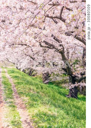 桜の花。川岸の土手。 30080509