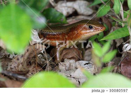 生き物 爬虫類 キシノウエトカゲ、四月の石垣島。顎のあたりが赤いのは婚姻色でしょうか 30080597