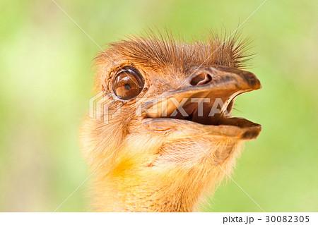 Ostrich Portrait 30082305