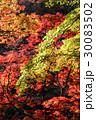 楓の紅葉 30083502