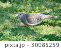 キジバト 鳩 鳥の写真 30085259