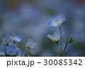 ネモフィラ 30085342