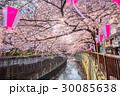目黒川 ソメイヨシノ 春の写真 30085638