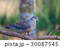 キジバト 鳥 鳩の写真 30087545
