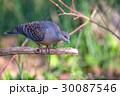 キジバト 鳥 鳩の写真 30087546