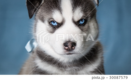 Puppy siberian husky with blue eyes 30087579 pixta puppy siberian husky with blue eyes voltagebd Image collections