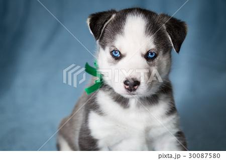 Puppy siberian husky with blue eyes 30087580 pixta puppy siberian husky with blue eyes voltagebd Image collections