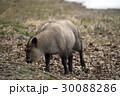 カモシカ ニホンカモシカ 羚羊の写真 30088286