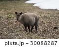 カモシカ ニホンカモシカ 羚羊の写真 30088287