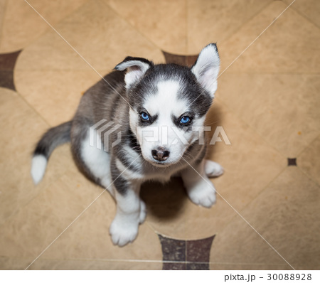 Cute puppy siberian husky with blue eyes 30088928 pixta cute puppy siberian husky with blue eyes voltagebd Image collections
