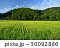 朝の北海道乙部町の出穂期の田園風景を撮影 30092886