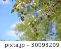 新緑 植物 自然の写真 30093209