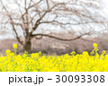 菜の花と桜の木 30093308