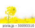 菜の花のアップ 30093310
