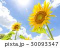 太陽の光を浴びるヒマワリ 30093347