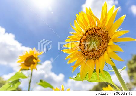 夏空とヒマワリ 30093349