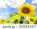 夏に生きるヒマワリ 30093357